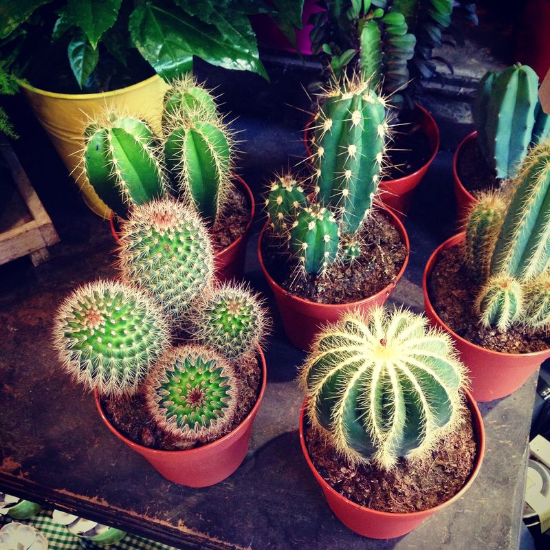 1-Nature-Creative-Muse-Cacti-Cactus-Succulents