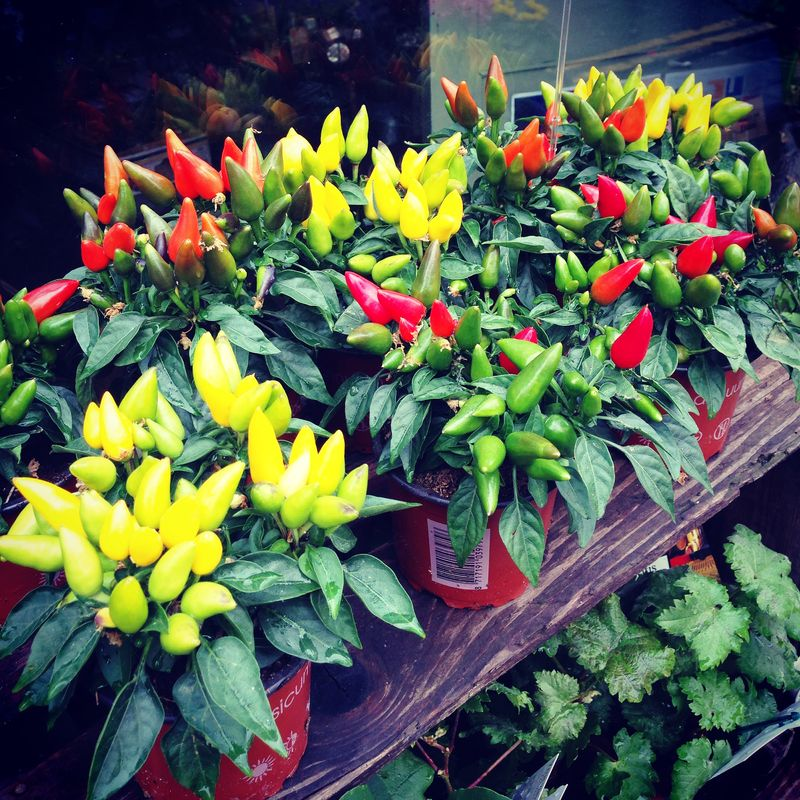 8-Nature-Creative-Muse-Chilli-Pepper-Plants-Northern-Flower